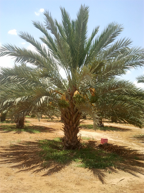 5 years old organic Medjool date palm